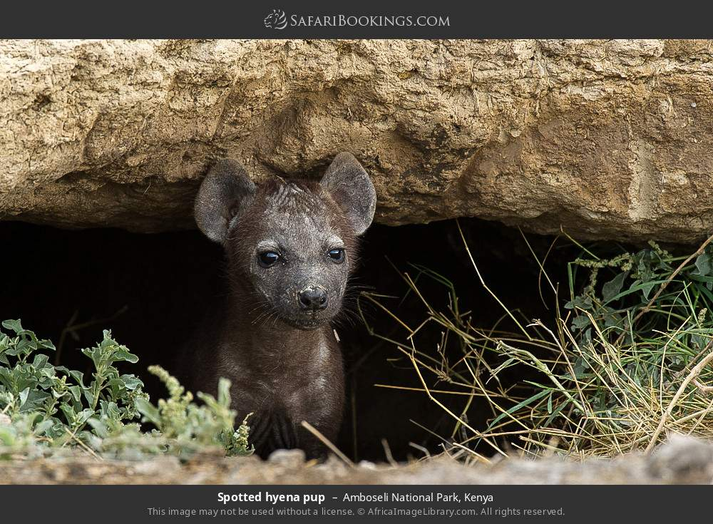 Spotted hyena pup in Amboseli National Park, Kenya