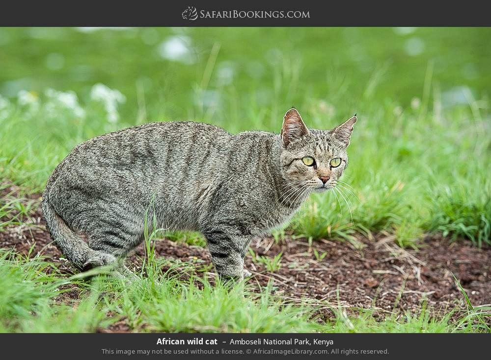 African wildcat in Amboseli National Park, Kenya