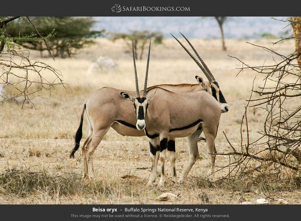 Beisa oryx in Buffalo Springs National Reserve, Kenya