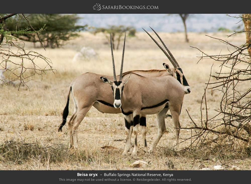 Beisa oryx in Buffalo Springs National Reserve, Kenya