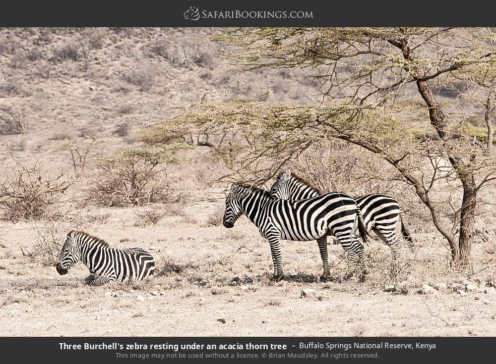 Three Burchell's zebra resting under an acacia thorn tree in Buffalo Springs National Reserve, Kenya