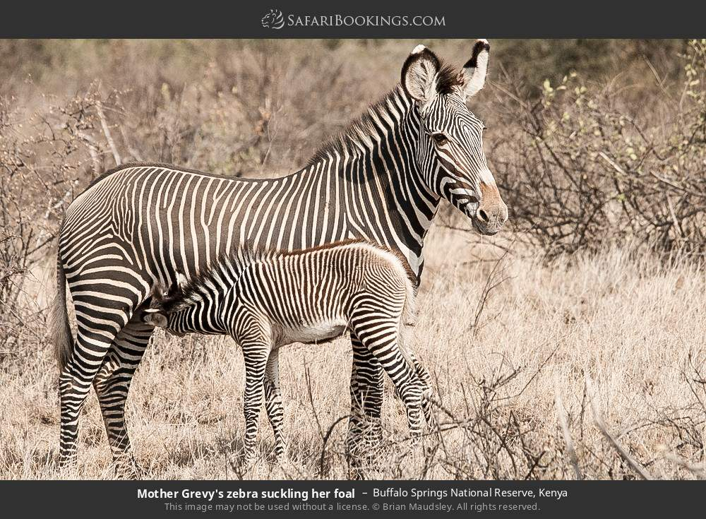 Mother Grevy's zebra suckling her foal in Buffalo Springs National Reserve, Kenya
