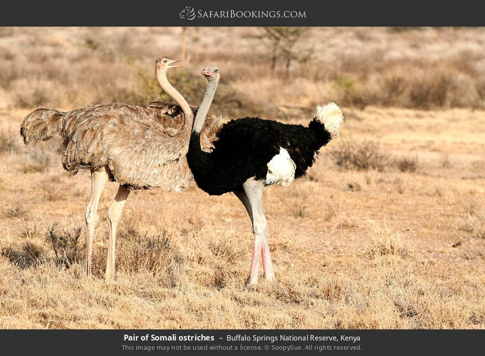 Pair of Somali ostriches in Buffalo Springs National Reserve, Kenya