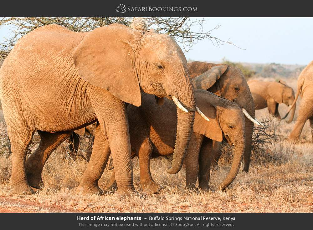 Herd of African elephants in Buffalo Springs National Reserve, Kenya