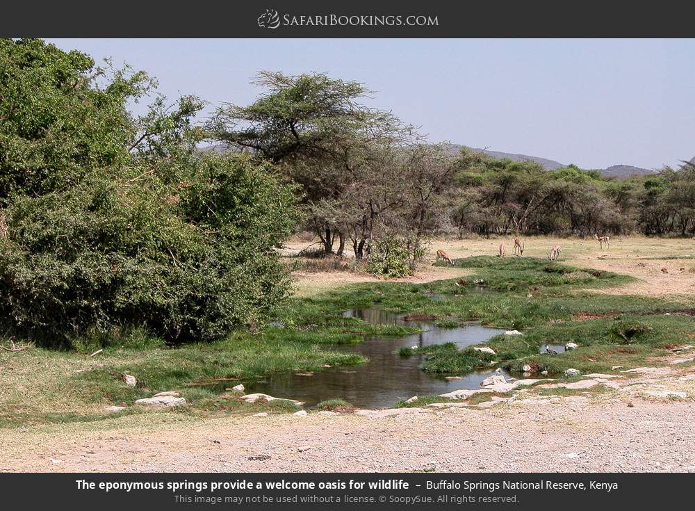 The Eponymous springs provide a welcome oasis for wildlife in Buffalo Springs National Reserve, Kenya
