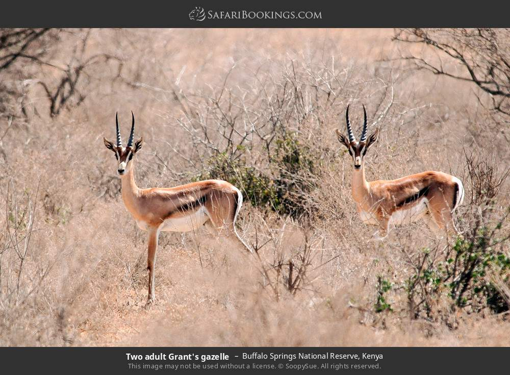 Two adult Grant's gazelle in Buffalo Springs National Reserve, Kenya