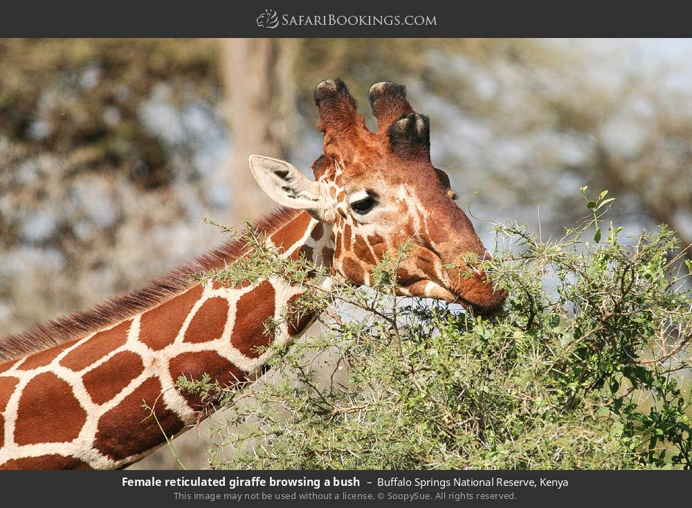 Female Reticulated giraffe browsing a bush in Buffalo Springs National Reserve, Kenya
