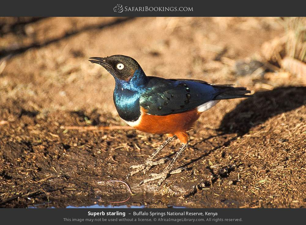 Superb starling in Buffalo Springs National Reserve, Kenya