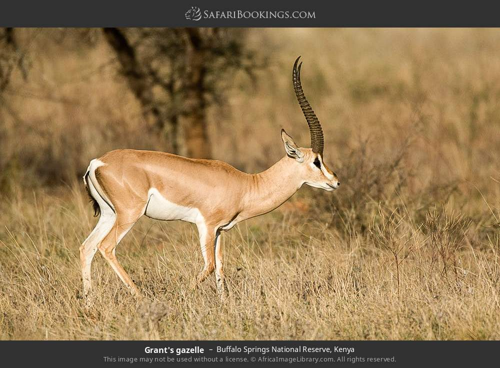Grant's gazelle in Buffalo Springs National Reserve, Kenya