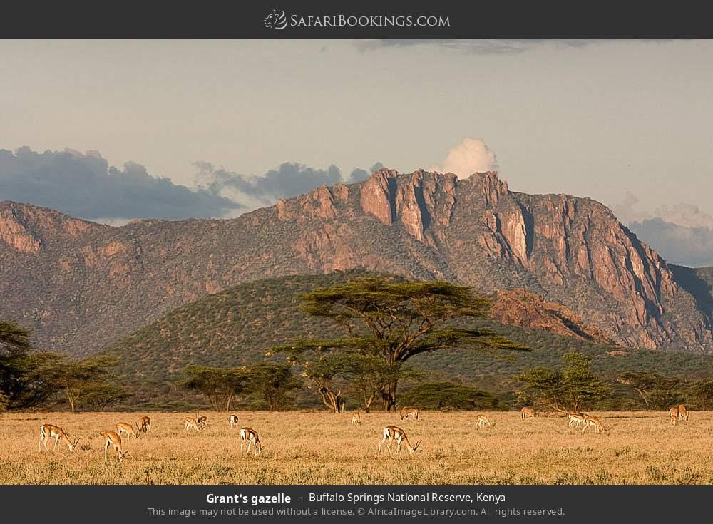 Grant's gazelle in Buffalo Springs National Reserve, Kenya