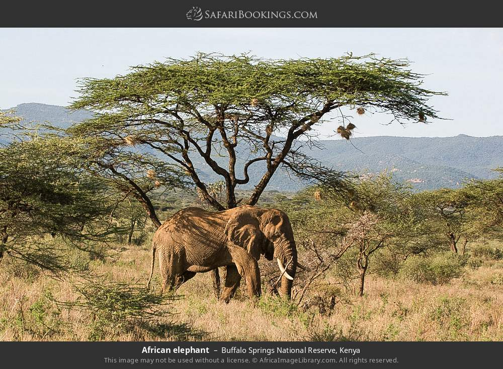 African elephant in Buffalo Springs National Reserve, Kenya