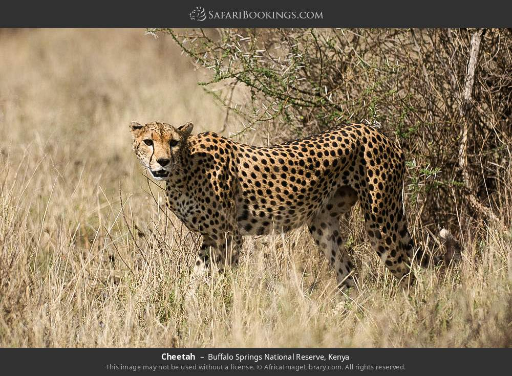 Cheetah in Buffalo Springs National Reserve, Kenya