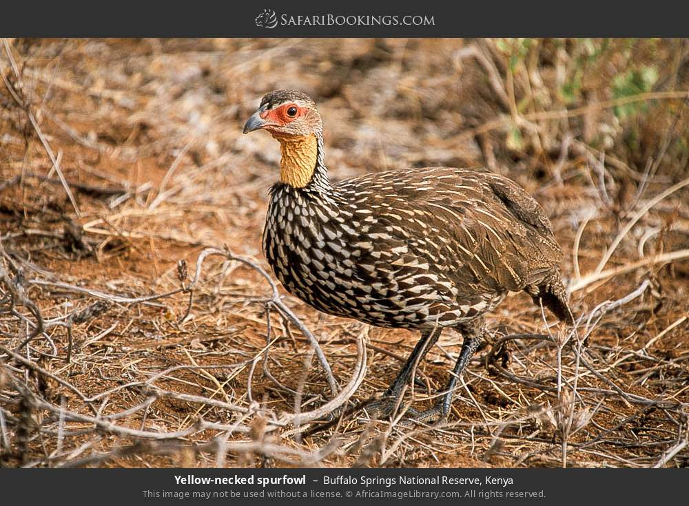 Yellow-necked spurfowl in Buffalo Springs National Reserve, Kenya