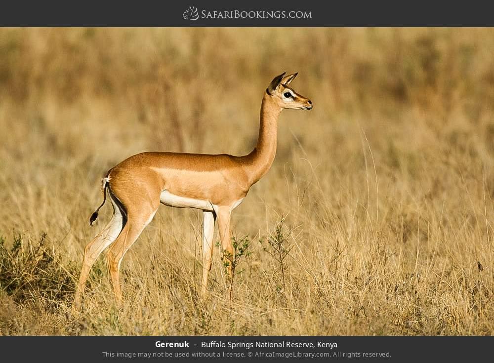 Gerenuk in Buffalo Springs National Reserve, Kenya