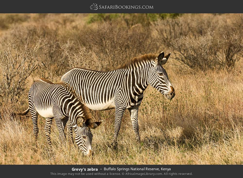 Grevy's zebra in Buffalo Springs National Reserve, Kenya