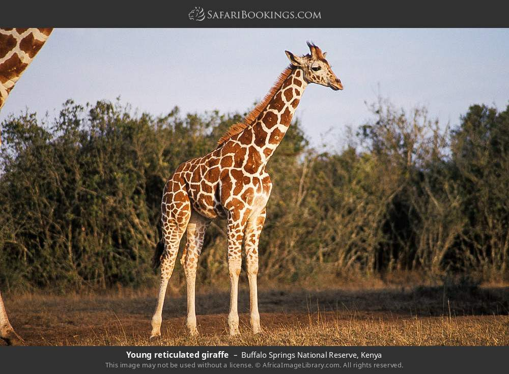 Young reticulated giraffe in Buffalo Springs National Reserve, Kenya
