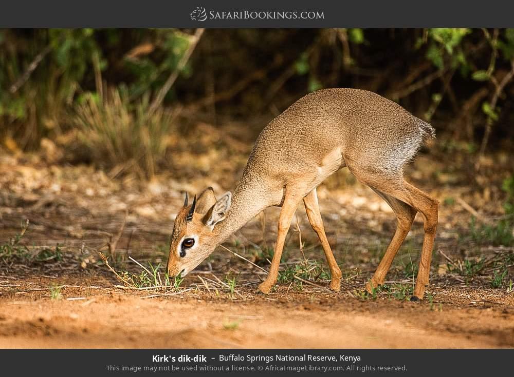 Kirk's dik-dik in Buffalo Springs National Reserve, Kenya
