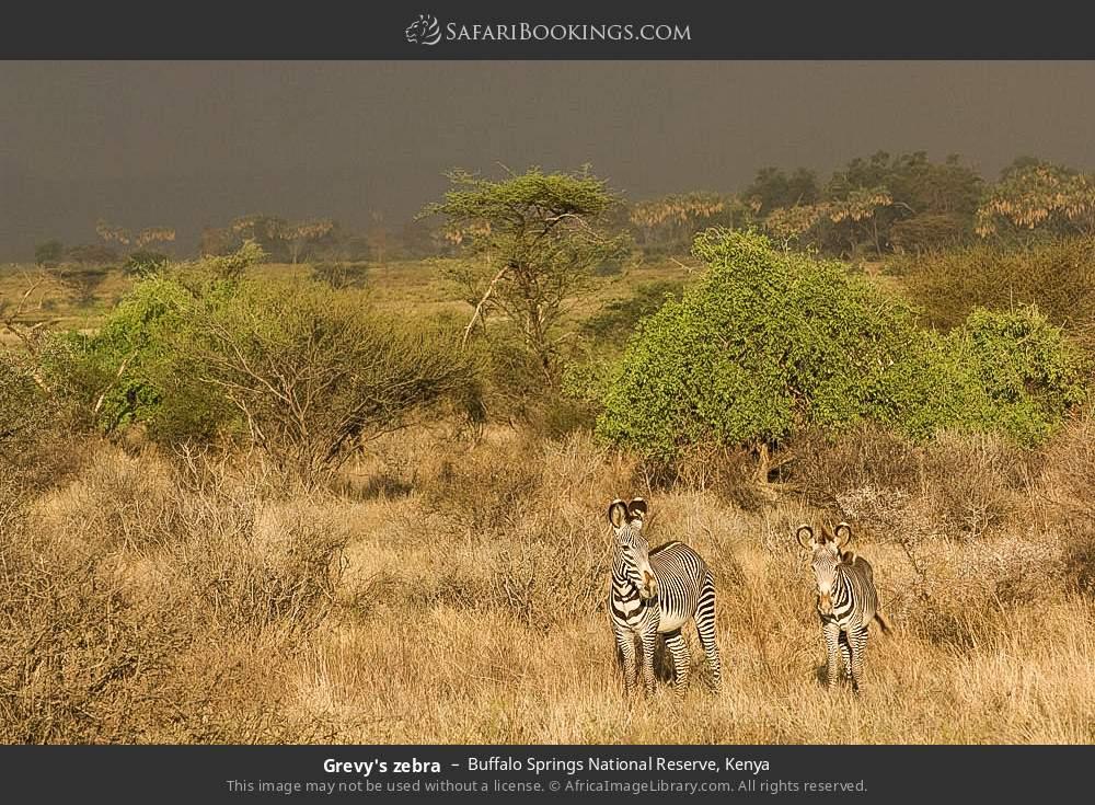 Grevy's zebra in Buffalo Springs National Reserve, Kenya