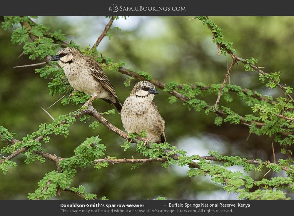 Donaldson-Smith's sparrow weaver in Buffalo Springs National Reserve, Kenya