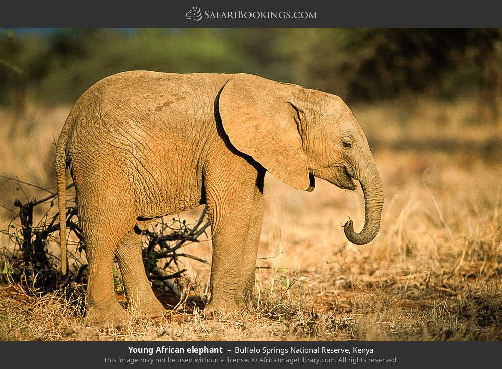 Young african elephant in Buffalo Springs National Reserve, Kenya