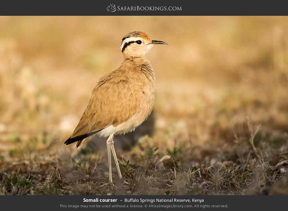 Somali courser in Buffalo Springs National Reserve, Kenya