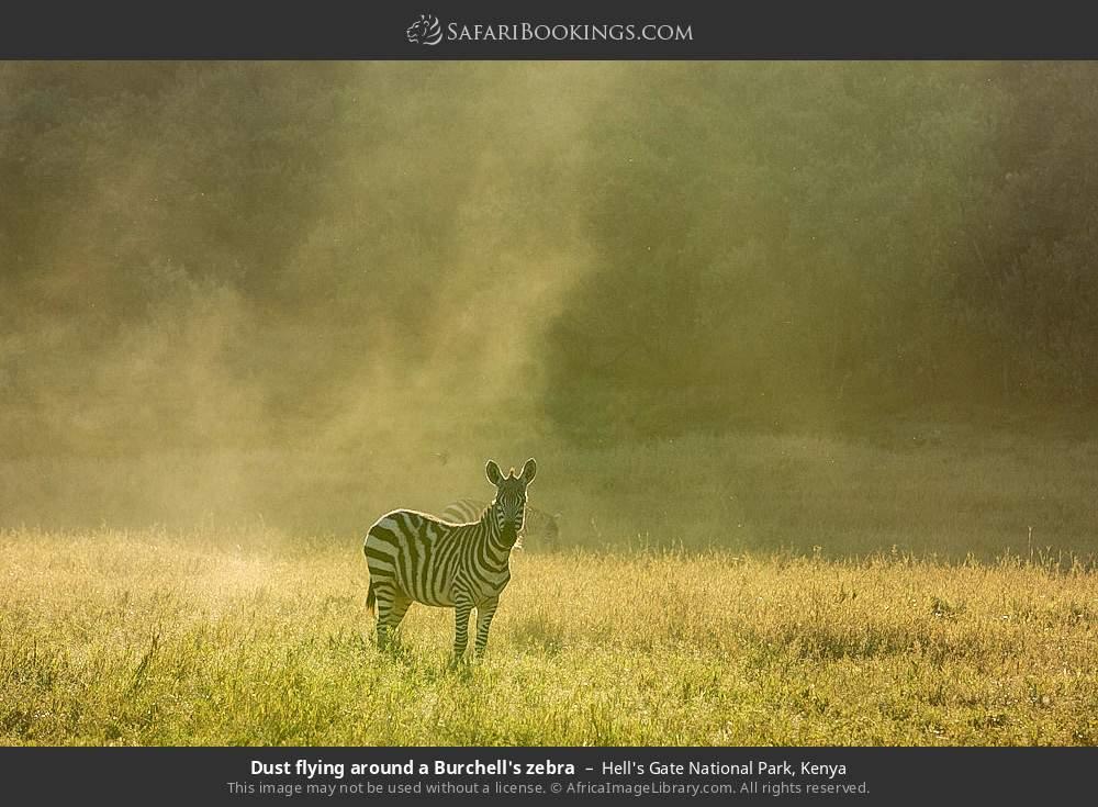 Dust flying around a Burchell's zebra in Hell's Gate National Park, Kenya