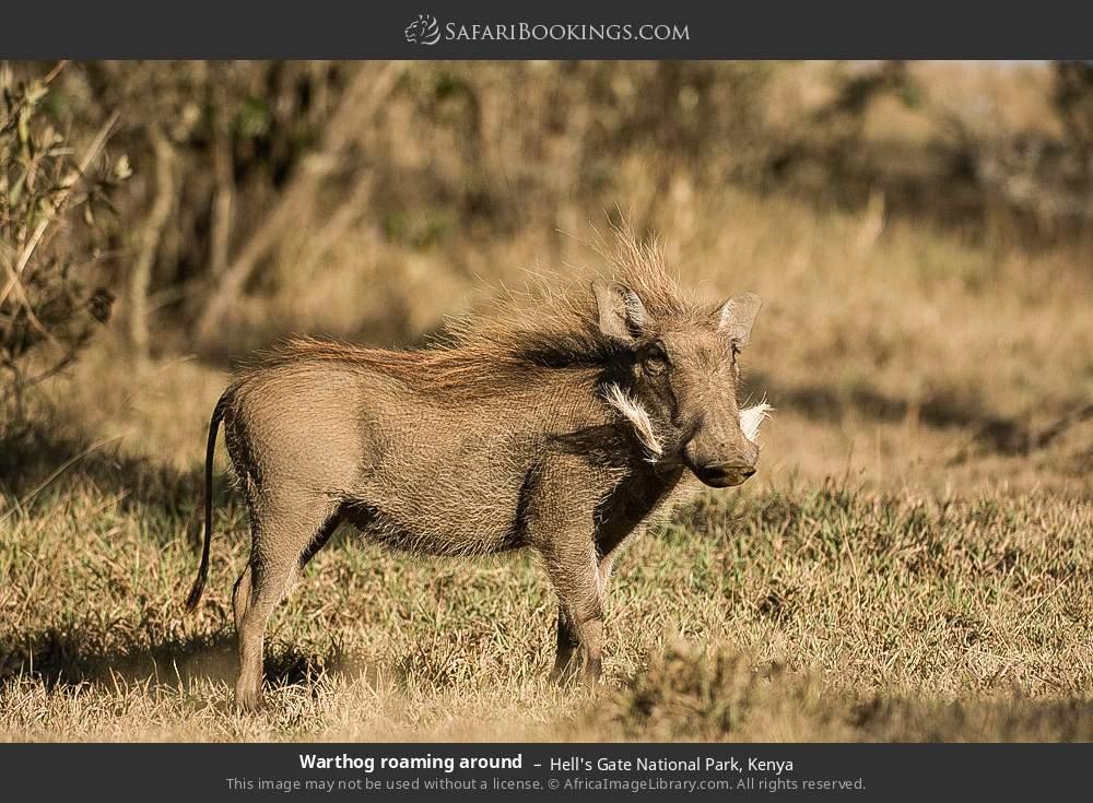 Warthog roaming around in Hell's Gate National Park, Kenya