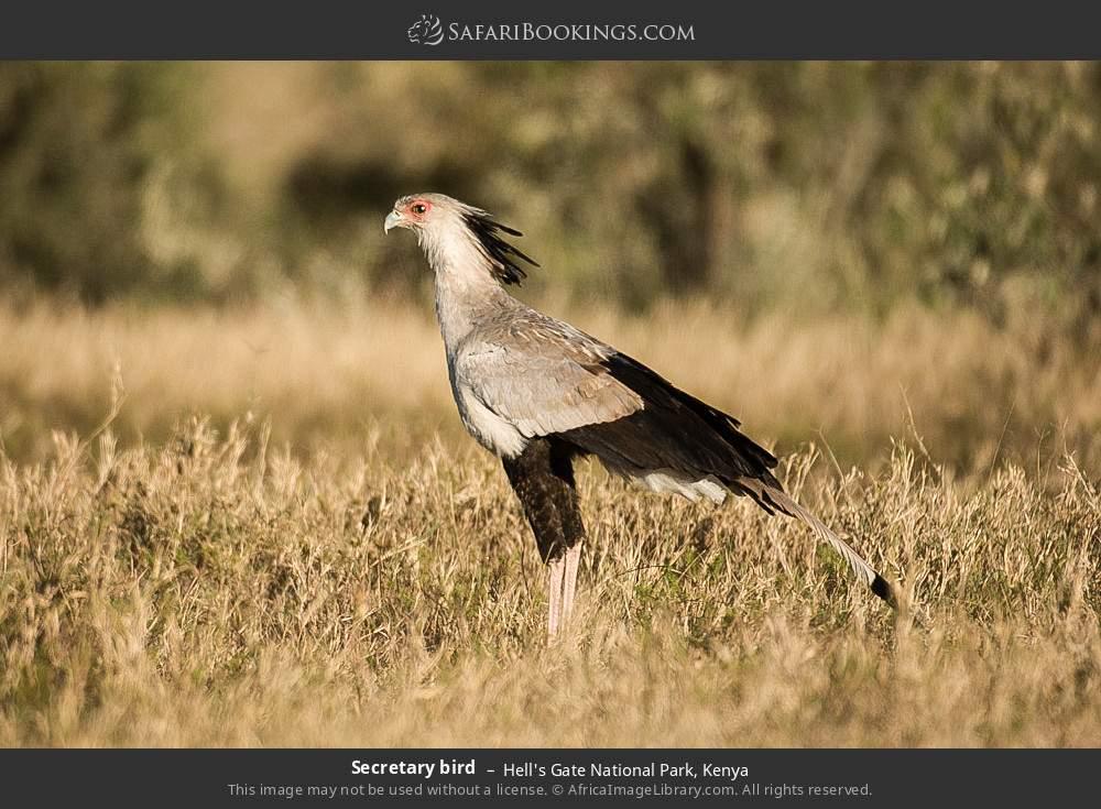 Secretary bird in Hell's Gate National Park, Kenya