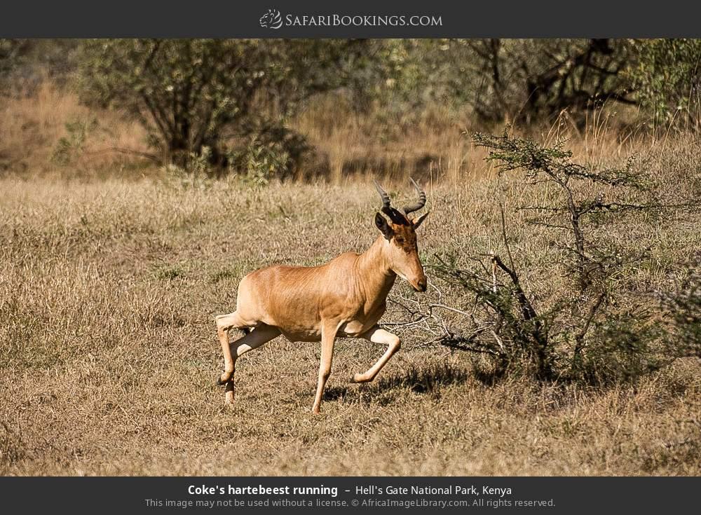 Coke's hartebeest running in Hell's Gate National Park, Kenya