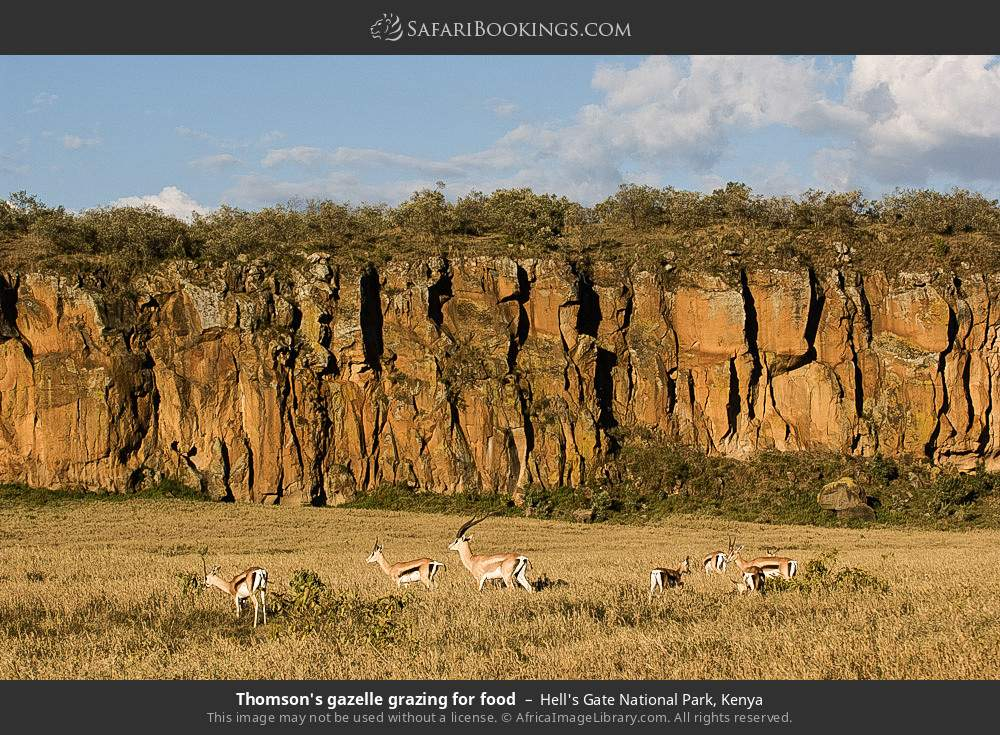 Thomson's gazelle grazing for food in Hell's Gate National Park, Kenya