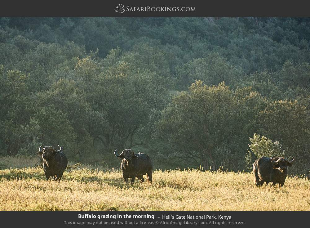 Buffalo grazing in the morning in Hell's Gate National Park, Kenya