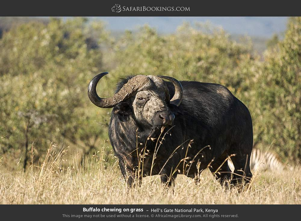 Buffalo chewing on grass in Hell's Gate National Park, Kenya