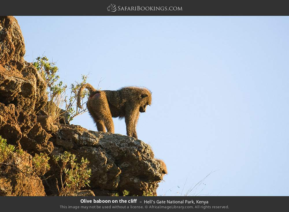 Olive baboon on the cliff in Hell's Gate National Park, Kenya