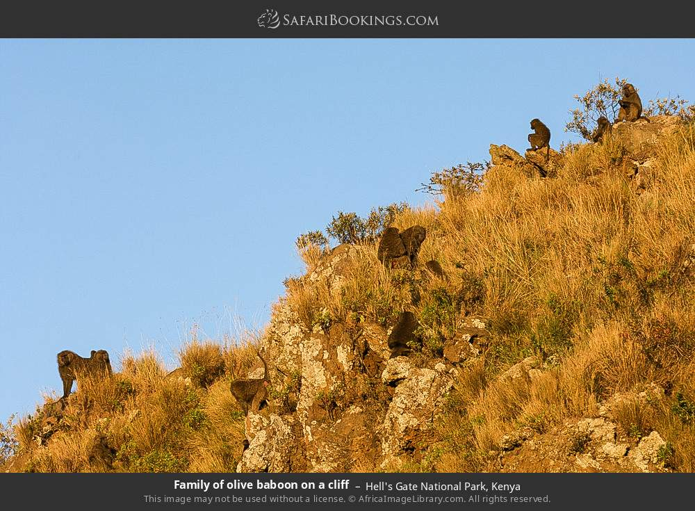 Family of olive baboon on a cliff in Hell's Gate National Park, Kenya