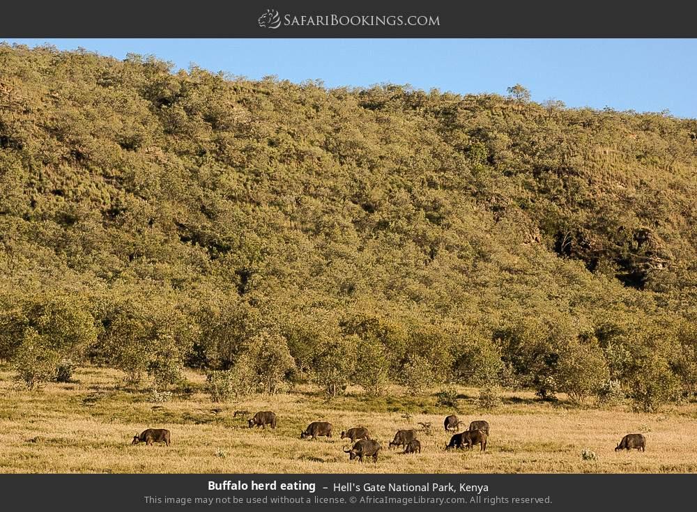 Buffalo herd eating in Hell's Gate National Park, Kenya