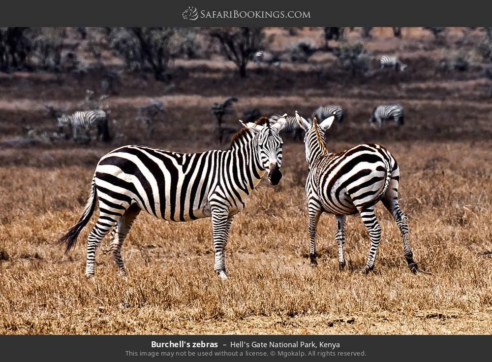 Burchell's zebras in Hell's Gate National Park, Kenya
