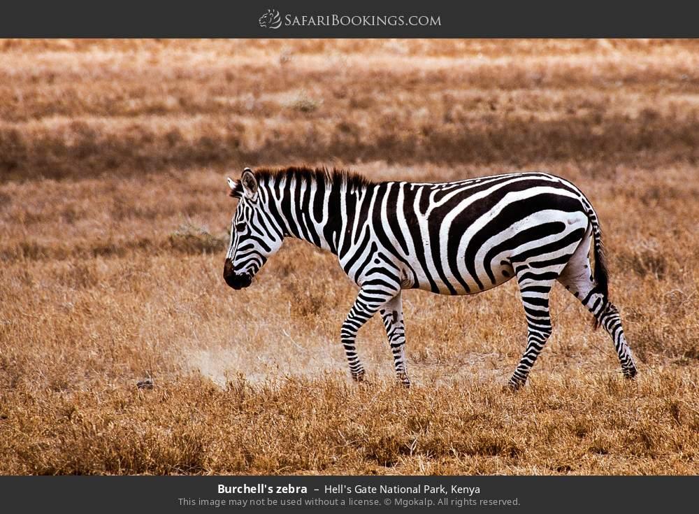 Burchell's zebra in Hell's Gate National Park, Kenya