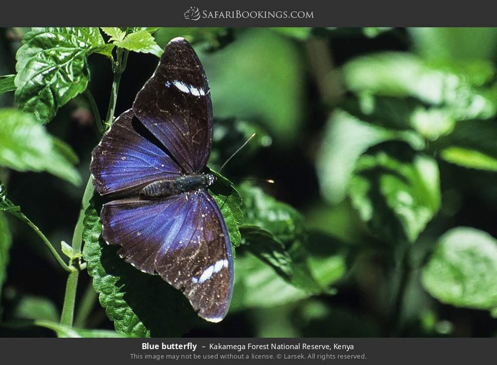 Blue butterfly in Kakamega Forest National Reserve, Kenya