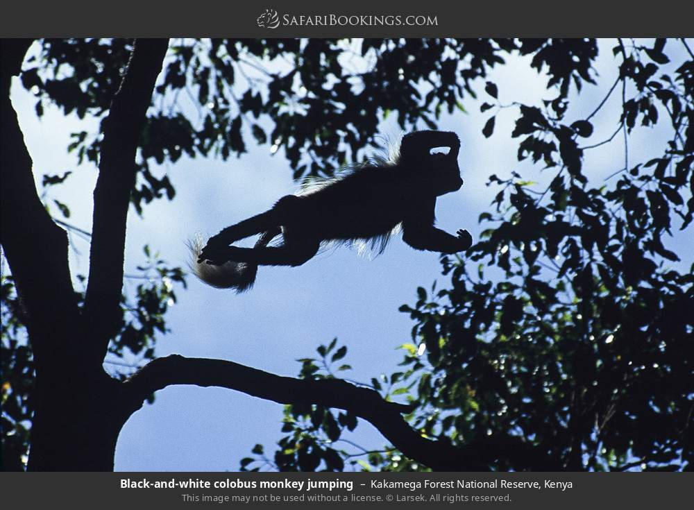 Black and white colobus monkey jumping in Kakamega Forest National Reserve, Kenya