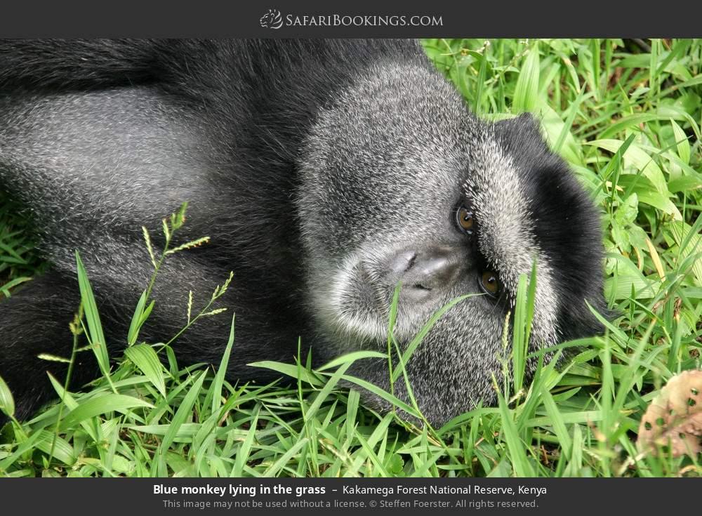 Blue monkey lying in the grass in Kakamega Forest National Reserve, Kenya