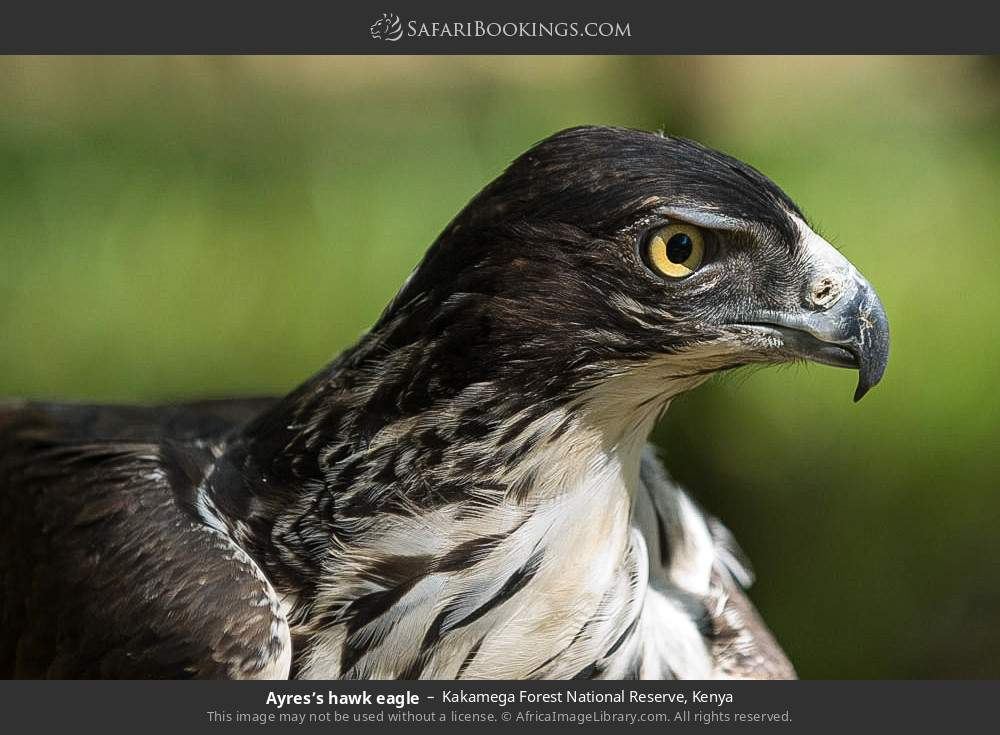 Ayre's hawk-eagle in Kakamega Forest National Reserve, Kenya