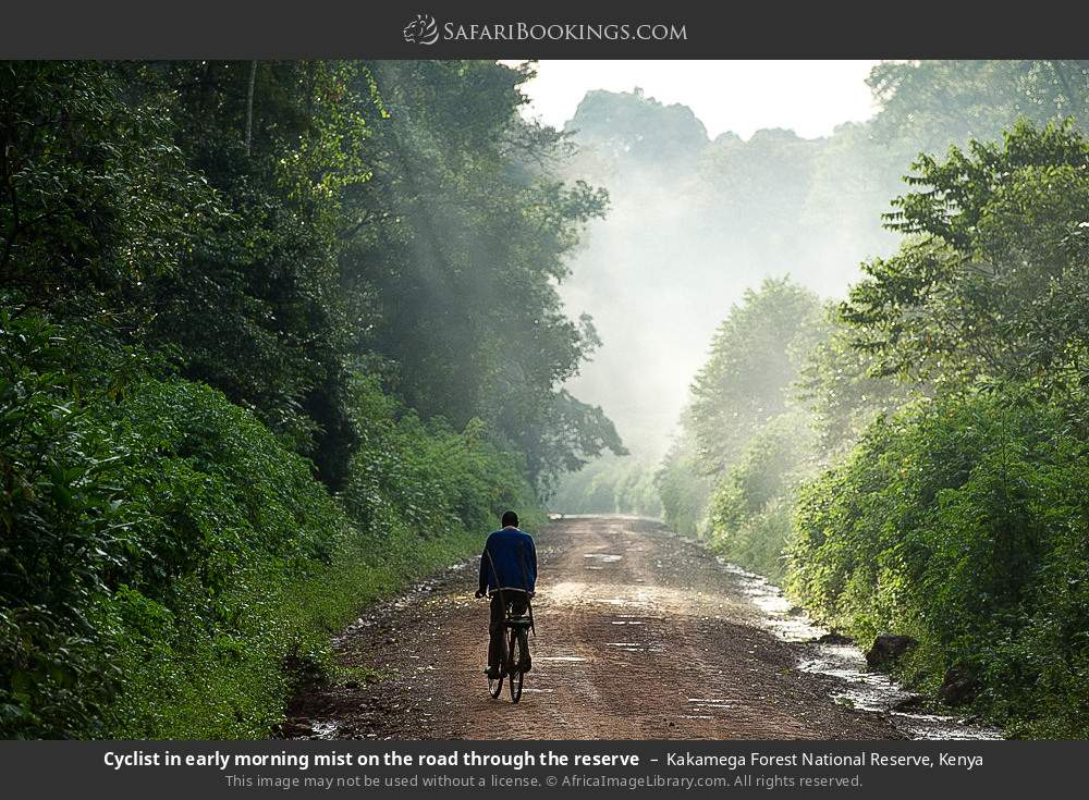 Cyclist in early morning mist on the road through the reserve in Kakamega Forest National Reserve, Kenya