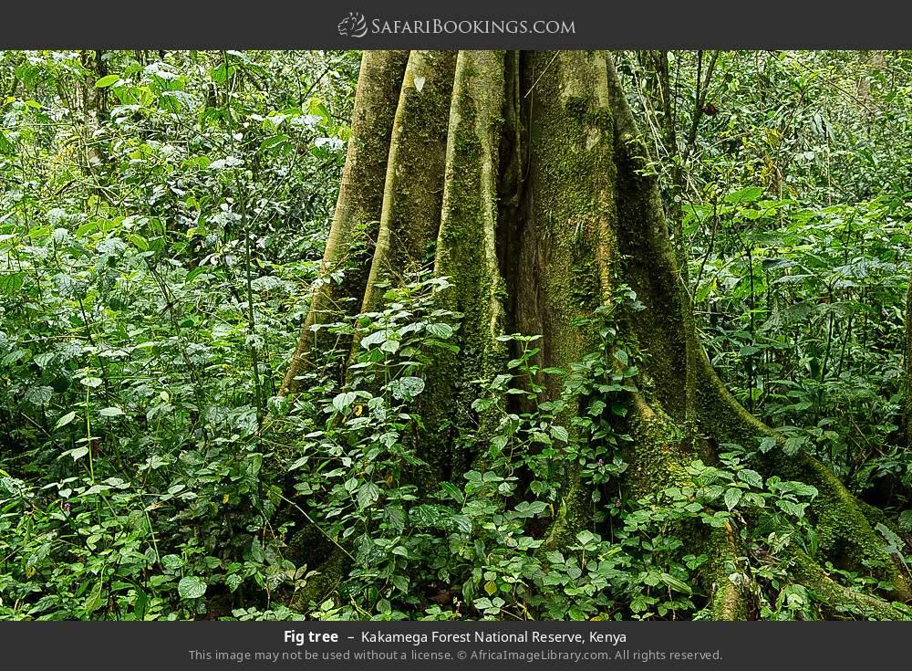 Fig tree in Kakamega Forest National Reserve, Kenya