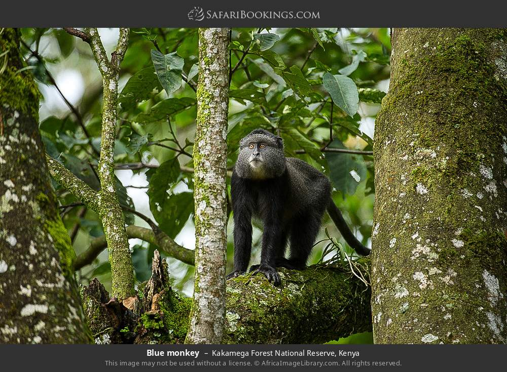 Blue monkey in Kakamega Forest National Reserve, Kenya