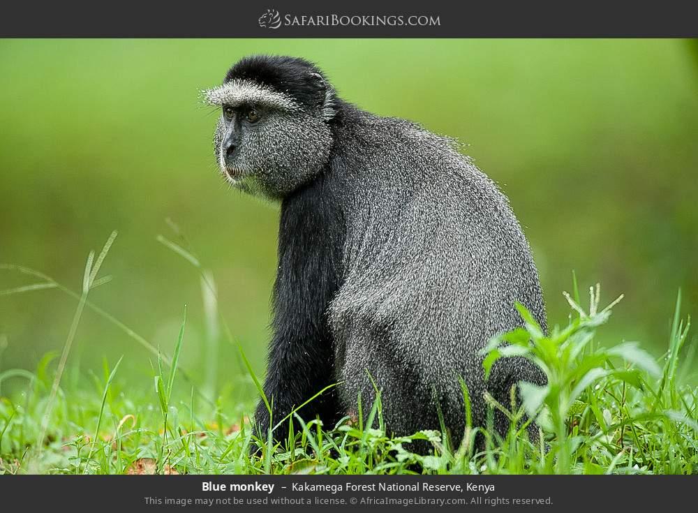 Blue monkey in Kakamega Forest National Reserve, Kenya