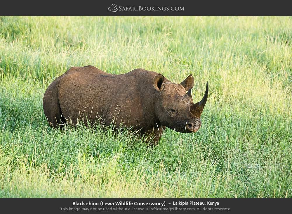 Black Rhino (Lewa Wildlife Conservancy) in Laikipia Plateau, Kenya