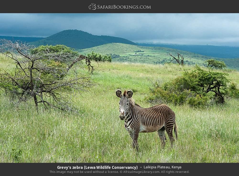 Grevy's zebra (Lewa Wildlife Conservancy) in Laikipia Plateau, Kenya