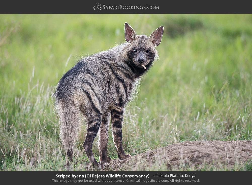 Striped hyena (Ol Pejeta Wildlife Conservancy) in Laikipia Plateau, Kenya