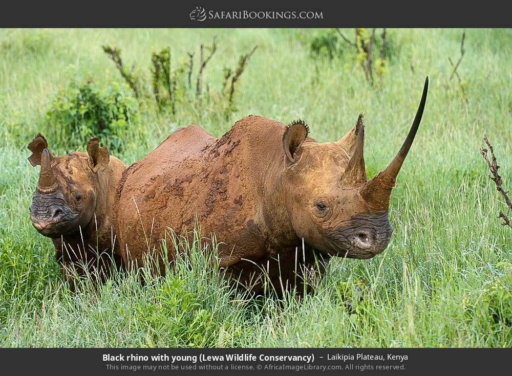 Black rhino with young (Lewa Wildlife Conservancy) in Laikipia Plateau, Kenya