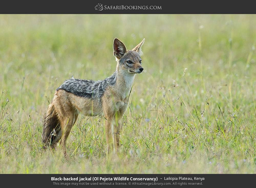 Black-backed jackal (Ol Pejeta Wildlife Conservancy) in Laikipia Plateau, Kenya